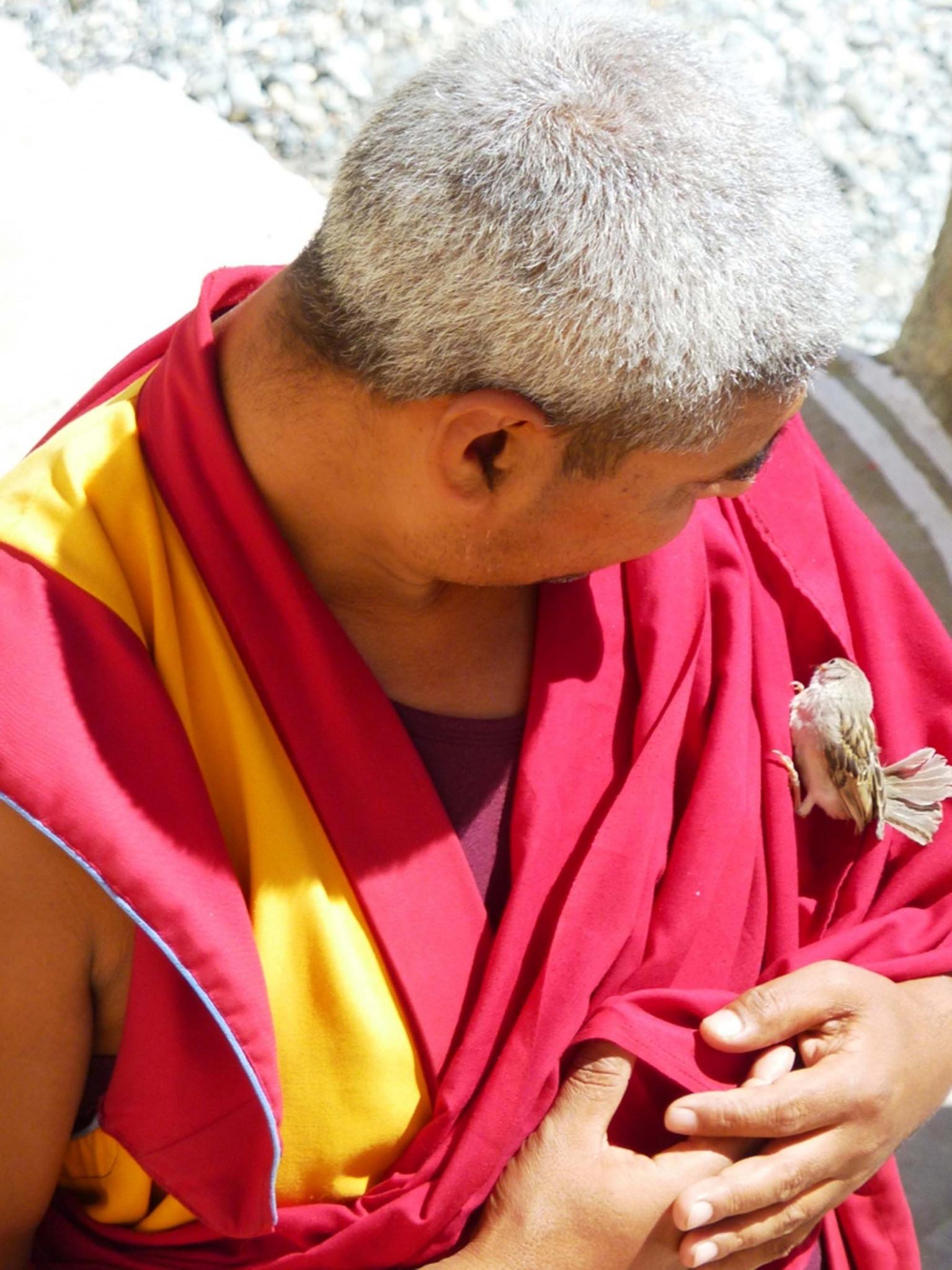 Tibetan monk with an injured sparrow, Ladakh, India